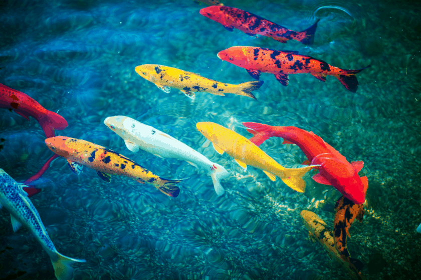 Different Types of Koi Fish