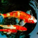 Everything That You Should Know About Koi Fish Breeding