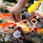 Fish Nutrition – Best Koi Fish Food and Feeding Guide