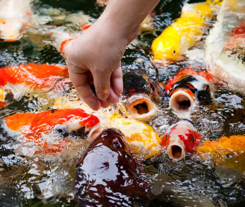Fish Nutrition Best Koi Fish Food and Feeding Guide