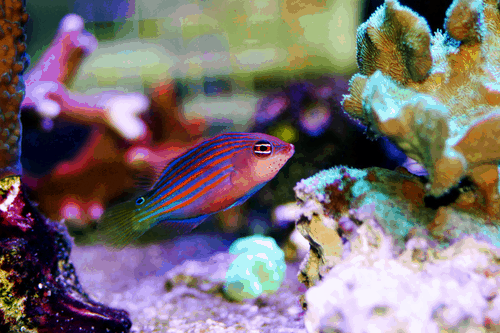 Six Line Wrasse Pseudocheilinus
