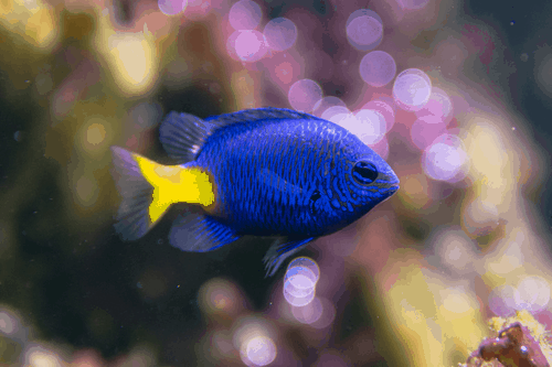 Yellowtail Blue Damselfish Chrysiptera parasema