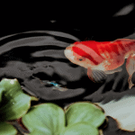 Best Pond Fish for an Ideal Outdoor Fish Keeping Experience