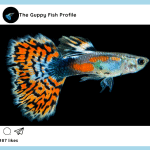 Don't Buy a Guppy Unless You Read This – Everything You Want to Know About Guppy Fish