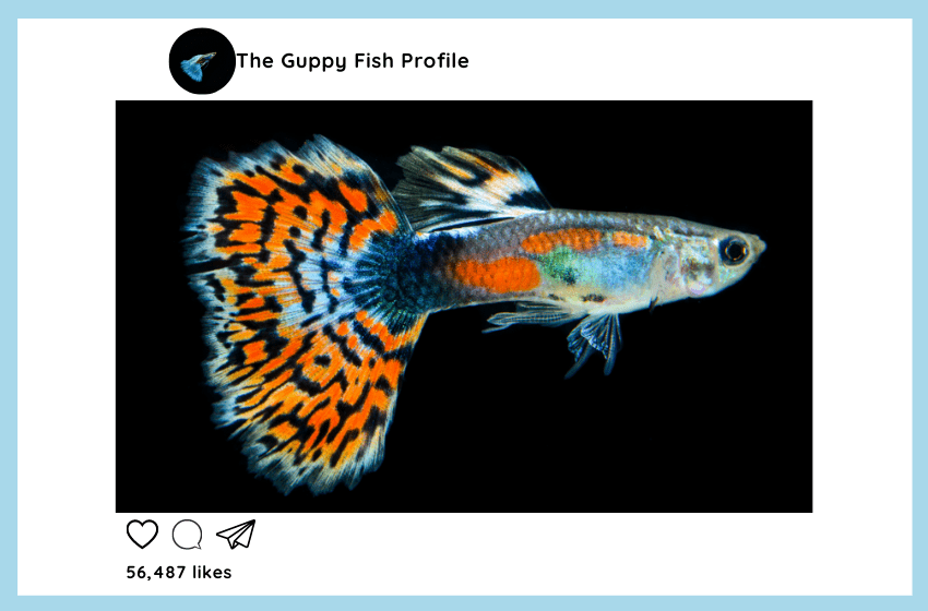Everything You Want to Know About Guppy Fish