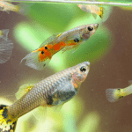 How to Tell if a Fish Is Pregnant