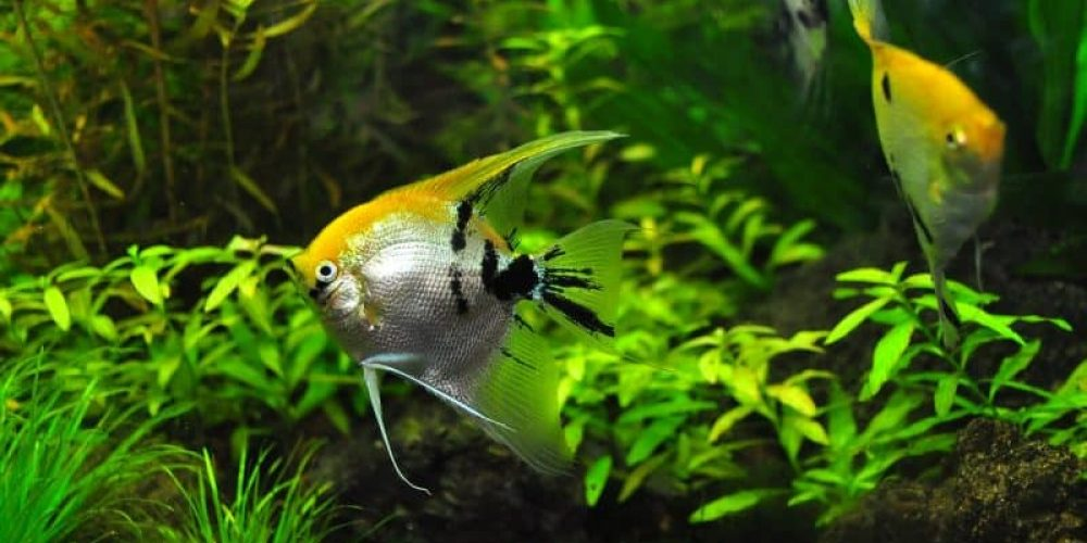 Colorful fish with longs fins, swimming in a heavily planted fish tank